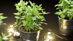 Modello 3D di una pianta di menta da scaricare gratuitamente