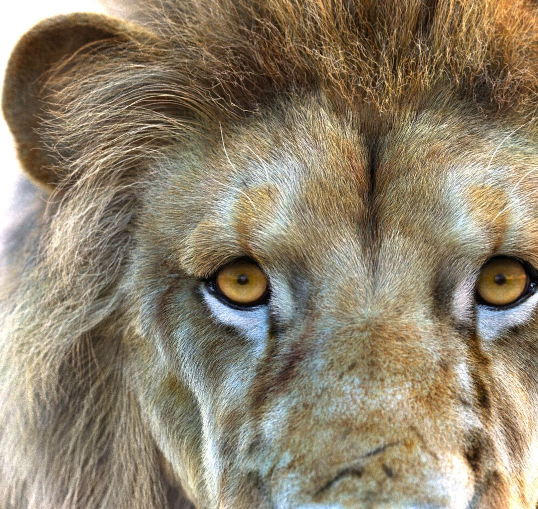 Lion Xgen